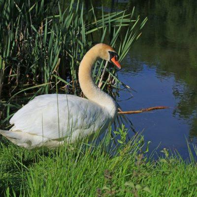 Visitor-pic-swan