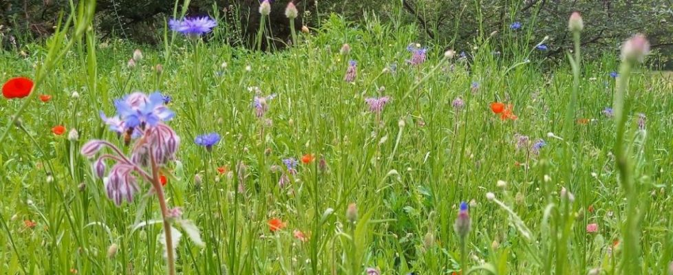 New wildflower meadow at Back of Beyond